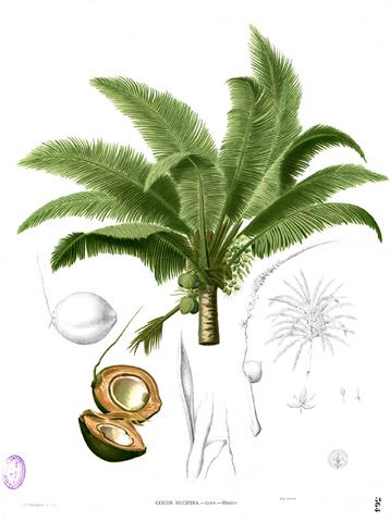 File:Cocos nucifera Blanco2.364.png