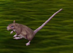 Image of Redridge Rat