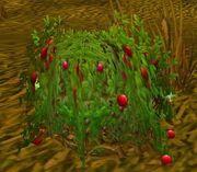 Bloodberry Bush