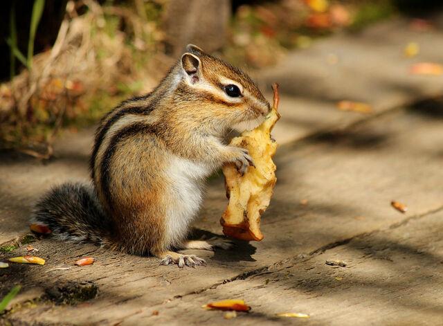 File:Siberian chipmunk by nachiii-d6e0dec.jpg