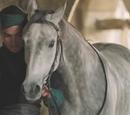 Szara Mgła (koń sułtana Osmana)