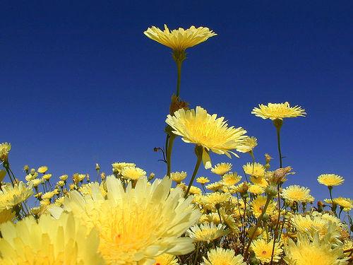 File:Desert Dandelion.jpg