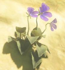 File:Swift Violet.png