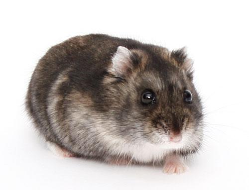 File:Hamster5-120216-bg.jpg