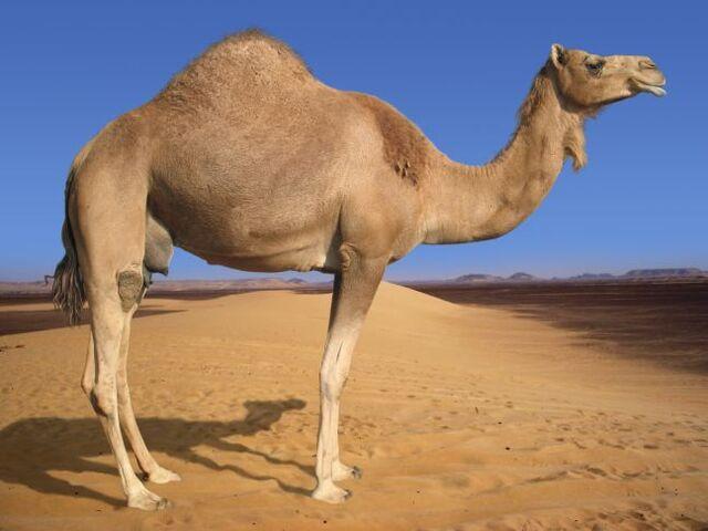 File:Camel1.jpg