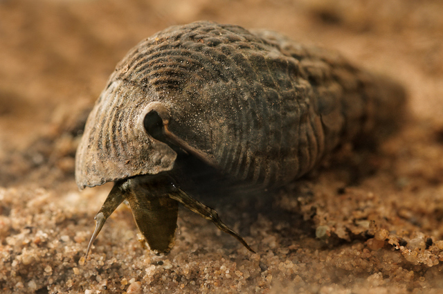 File:Horn Snail.png