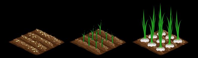 Garlic stages