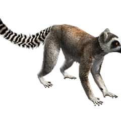 Ring-tailed lemur remake.
