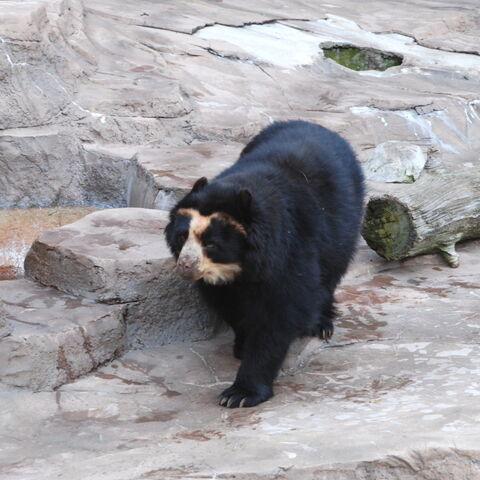 Spectacled Bear at Tennoji Zoo in Osaka, Japan.