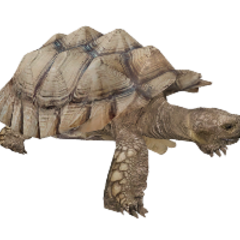 African Spurred Tortoise remake.