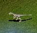 File:Baby Herrarasaurus.png