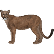 Florida.Panther.(Aurora Designs)