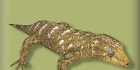 New Caledonian Giant Gecko