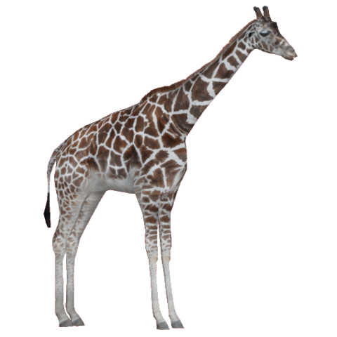 File:RothschildGiraffeAM.png