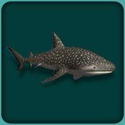 File:Whale Shark.jpg
